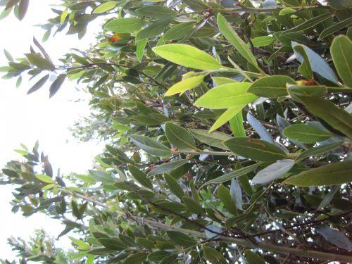 medis, alyvuogių, filialai, lapija, žalias, šviesa, alyvmedžio lapija