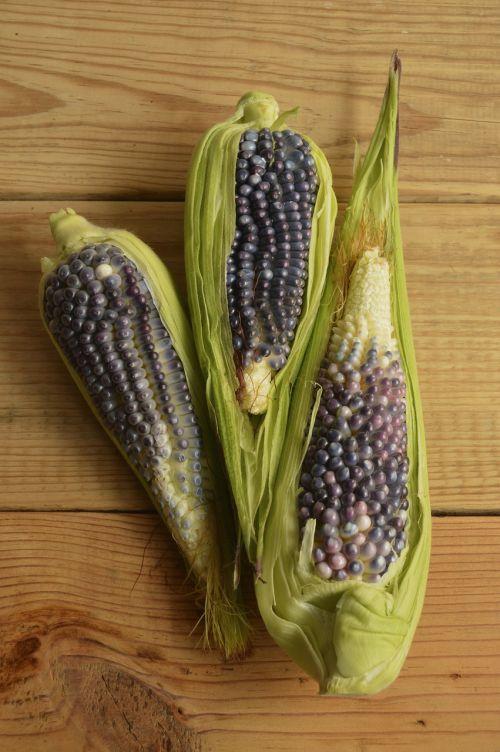 maistas,sveikas,mėlynas,tamsi,vegetariškas,lapai,kukurūzai,grūdai,šlapias,juoda,auksinis,ingredientas,daržovių,natūralus,kukurūzai,ekologiškas,izoliuotas,prinokę,kukurūzai,lukštas,cob,cukriniai kukurūzai,branduoliai,mityba,ausis