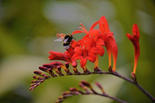 maitinimas,Bourdon,vabzdys,gamta,vasara,spalvos,gėlė,sodas,pašaras,fauna,žiedadulkės,augalai,žydėjimas,laukas,botanika