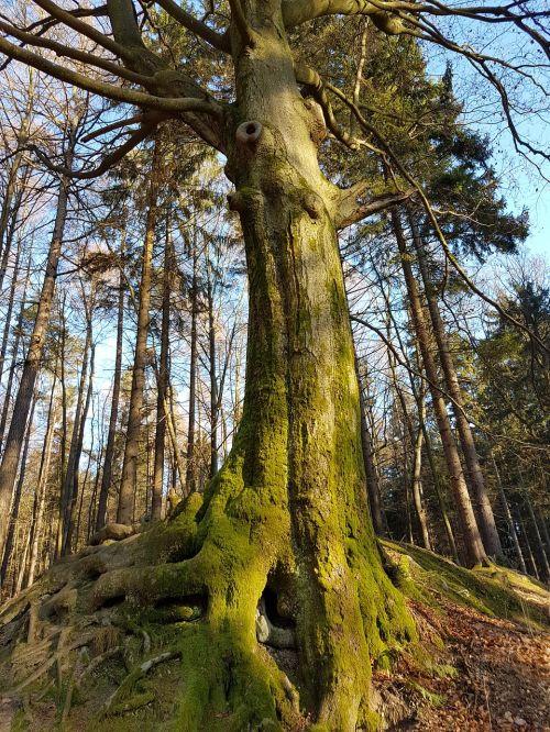 jėga,medis,miškas,šaknis