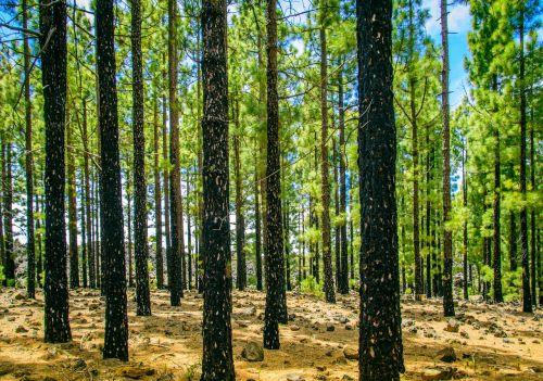 miškas,saulė,medis,žalias,spygliuočiai,žurnalas,padermės,vasara,charred,prekinis ženklas,nudegimai