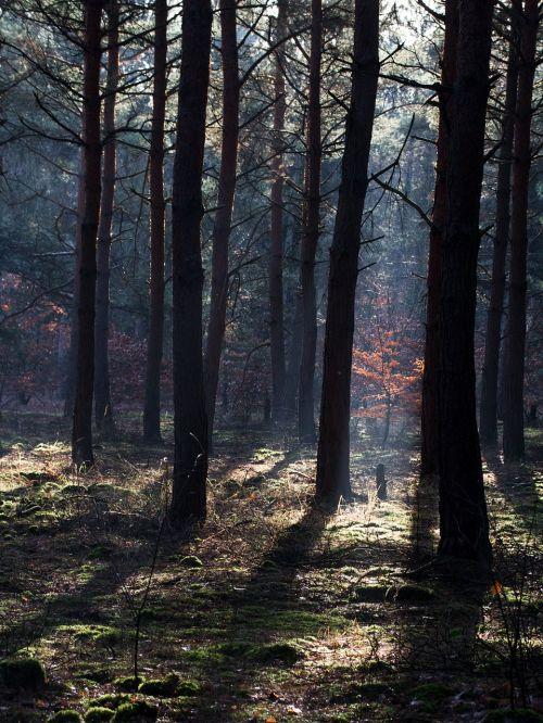 miškas,saulės spindulys,rudens miškas,šviesos spindulys,morgenstimmung