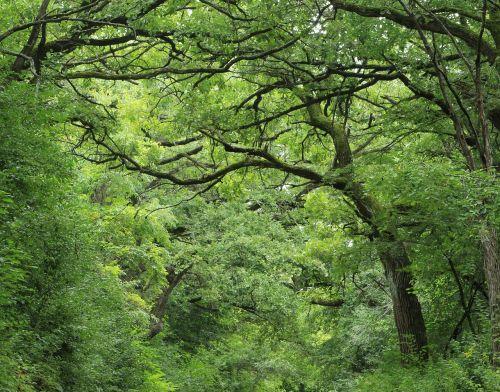 miškas,žalias,medžiai,miškai,gamta,miškas,lauko parkas,bagažinė,laukiniai,kraštovaizdis,natūralus,lapai