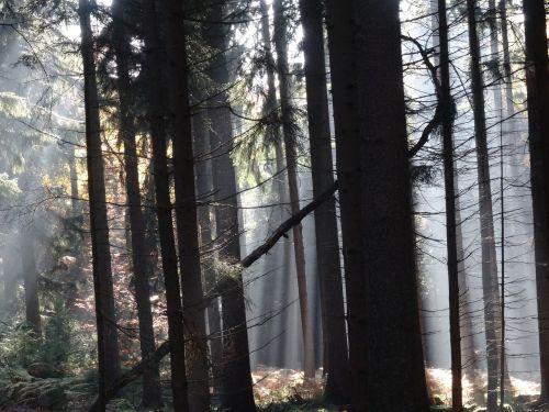 miškas,rūkas,medžiai,mistinis