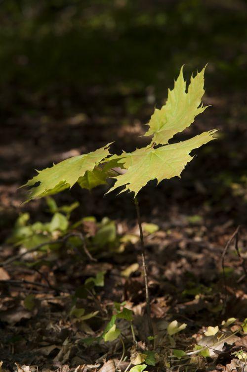 miškas,klevas,pavasaris,mygtukas,medis,sodinukai,augimas,dygsta,žalias,gamta,saulės šviesa,lakštas,gyvenimas,galia,apačioje