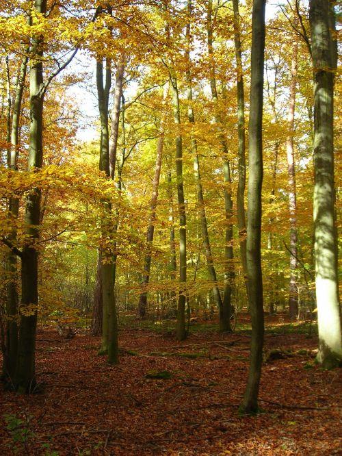 miškas,auksinis,Spalio mėn,ruduo,šviesus,geltona,lapuočių miškas,vabalas slėnio miškas