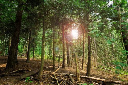 miškas,medžiai,filialai,kraštovaizdis,miškai,senas medis,žurnalas,mediena,filialas,gamta,pušis,estetinis,spygliuočių,augalas,minkšta mediena,ruda,tamsi,niūrus,saulė,saulės spindulys,atgal šviesa,nuotaika
