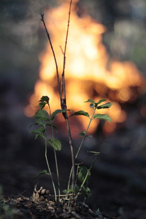 Miškas, Koster, Deginimas, Turizmas, Vasara, Laukinė Gamta, Gamta, Medis, Laukinė Gėlė, Gyvoji Gamta, Fauna, Krupnyj Planas, Augalas, Iš Arti, Medžiai