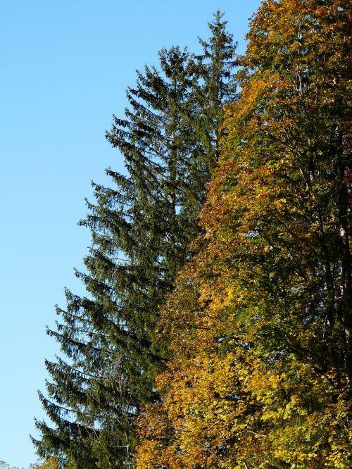 miškas,spygliuočių miškas,eglės miškas,Kalėdų eglutė,spygliuočių,lapuočių medis,mišrus miškas,ruduo,kritimo spalva,rudens miškas,rudens spalvos,medžiai