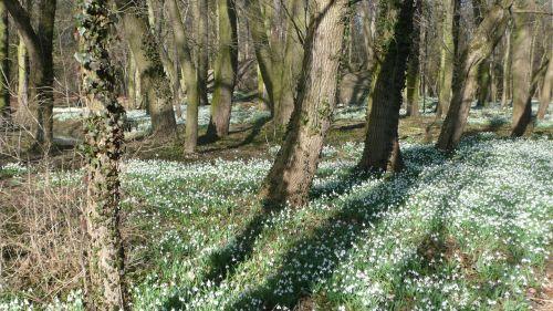 Miškas,  Sniego Danga,  Pavasaris,  Gamta,  Gėlė,  Parkas