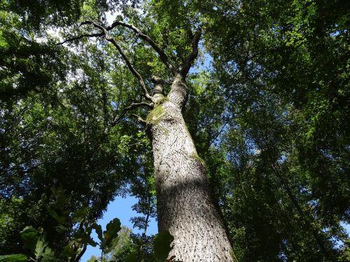miškas,rudens miškas,aukštas,medis,žurnalas,gamta,saulės spindulys,lapuočių miškas
