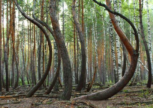 miškas,medžiai,netikėtas,pušis,medžių kamienus,išlenktas,audra,sunkumai,lankstumas