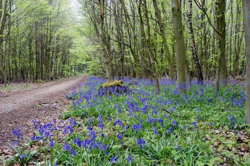 miško gėlės,miškas,gėlė,žiedas,žydėti,pavasaris,pavasario gėlė,laukinė gėlė,mėlynas,mėlyna gėlė