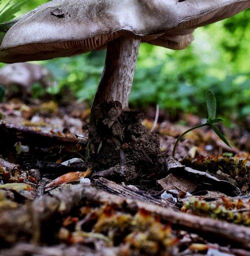miško grybų, grybų, miško paklotė, Agaric, pobūdį, grybai, miškas, makro, lauko, miško kelias, klestėjo nuo, žygiai, medžiai, toli, takas, grybų kepurės, grybo galva, gamtos rezervatas, pavasaris, Vokietija, miškų plotas, kietmedžio grindys, grybai, kempinė, Mini grybų, grybų rūšys, diskas grybelis, miško grybų, ekranas grybelis, Iš arti, iš apačios, miško augalų