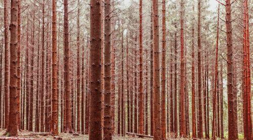 miško medžiai,ruduo,miškas,gamta,kritimas,kraštovaizdis,natūralus,lapija,lauke,miškai,peizažas,vaizdingas,bagažinė,raudona,ruda,spalvos