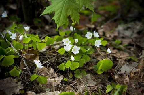 miško dobilas,dobilas,miškas,žalias,pavasaris,augalai,gamta,ryškumas,gėlės,medis,balta,zuikio dobilas,ramybė