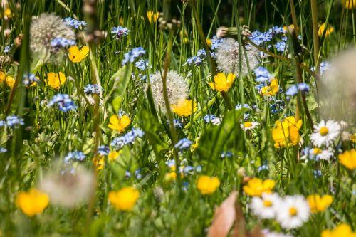 gėlių pieva,Nepamiršk manęs,buttercup,Daisy,kiaulpienė,kiaulpienės,vasaros pieva,pavasario pieva,vasara,pavasaris,pieva,žolė,skubėti