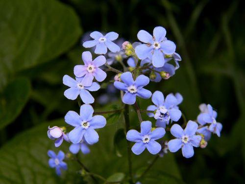 Nepamiršk manęs,gėlė,mėlyna gėlė,mėlynas,žydėti,gėlės,sodas,gamta,vasara,sodo gėlė,augalas,žiedlapiai,sodo gėlės,pavasaris,šviesus