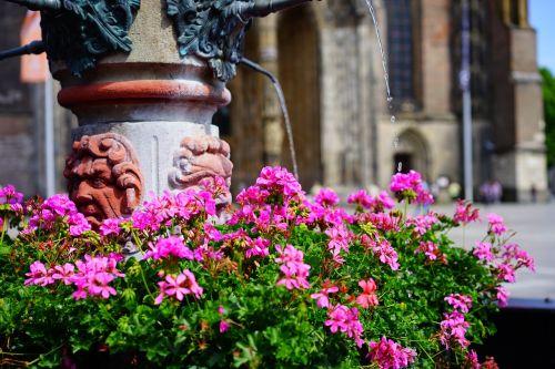 fontanas,vanduo,geranium,gėlės,spalvinga,spalva,rožinis,pelargoniai,pelargonium,geranium greenhouse,geraniaceae,münster fontanas,katedros aikštė,ulm,liūto fontanas