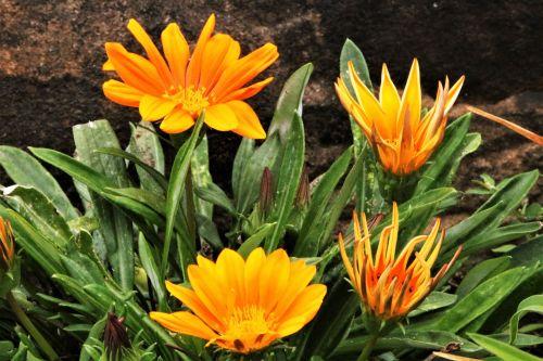 gamta, augalai, gėlės, oranžinės & nbsp, gėlės, keturi & nbsp, oranžiniai & nbsp, gėlės, gazania & nbsp, gėlės, oranžinė & nbsp, gazania, keturi & nbsp, gazania, žydi, žydi, auga, žalios spalvos & nbsp, lapai, skirtingi & nbsp, etapai, tamsus & nbsp, fonas, žiedlapiai, gėlių & nbsp, žiedlapių, keturios oranžinės gazania gėlės
