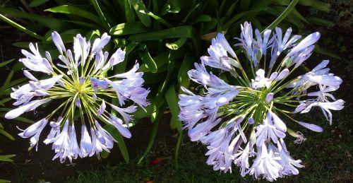 lilija iš nilo,agapanthus,france,gėlės,žiedlapiai,flora,augalas,agapanthus africanus,mėlyna tuberozė