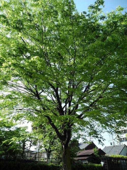 švieži & nbsp, žalia, medis, mediena, žalias, švieži žalia