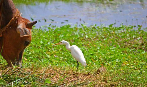 draugai,kranas,karvė,gyvūnų pokalbiai,Šri Lanka,nikawaratiya,ceilonas,Mawanella,laukinė gamta