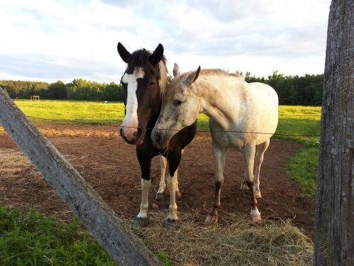 arklys, arklys, Jodinėjimas, ponis, gyvūnas, Draugystė, bendravimas, Draugystė