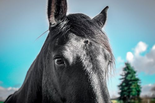 friese,Mare,juoda,grožis,vaizdas,dangus,mėlynas,Uždaryti,portretas,gyvūnas,arklys,medis,galvoti,saugumas,pasitikėjimas,meilė gyvūnams,ilgesys