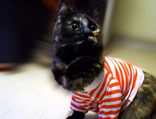 išgąsdinti, katė, don `t, nori, tai, Džersis, nuotrauka, išgąsdintas katinas