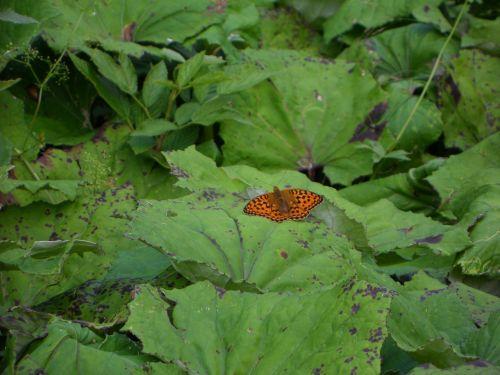 fritillary,drugelis,oranžinė,vabzdys,spalvos purtymas,gamta