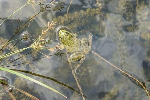 varlė,vanduo,tvenkinys,žalia varlė,žalias,vandens gyvūnai,gyvūnas,amfibija,vandens varlė,pelkinė varlė,sodo tvenkinys,Uždaryti