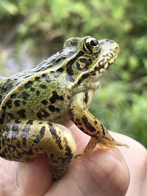 varlė, žr varlė, Pocket-paskirti thomas Gavin El Sol, pagaminti el sol,蛙, pobūdį, pavasaris, sir lustai
