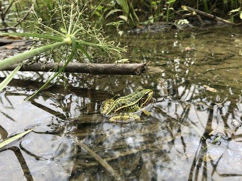 varlė, žr varlė, Pocket-paskirti thomas Gavin El Sol, pagaminti el sol,蛙, pobūdį, pavasaris, sir drožlės, varliagyvius, vandens, kainos, Marsh, kraštovaizdis