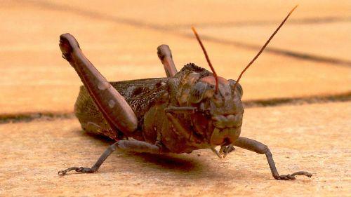 priekinis,Kriketas,vabzdžiai,antenos,vabzdys,sparnas,laukinė gamta,klaida,mažas,antenos,laukiniai,entomologija,metamorfozė