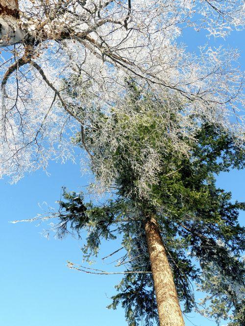 šaltis,žiema,medžiai,filialai,šaltas,ledas,sušaldyta,padengtas,gamta