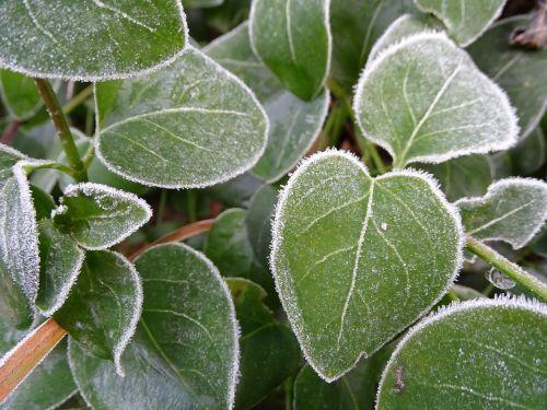 šaltis,lapai,šaltas,sušaldyta,ledas,užšaldyti,auskaras,ledinis,ledinis