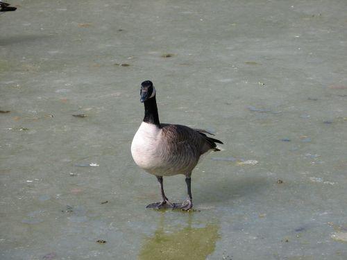 žąsis, Kanada, žąsys, vanduo, sušaldyta, ledas, tvenkinys, paukščiai, paukštis, užšalus tvenkinys