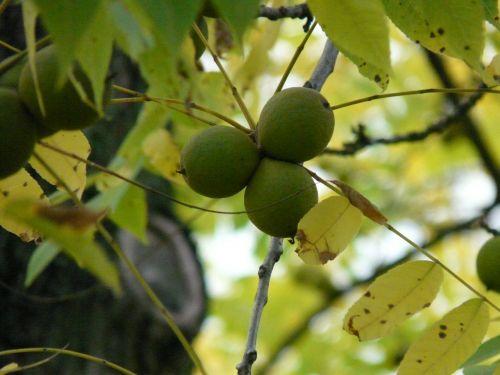 vaisiai,juodas graikinis riešutas,medis,parko medis,juglans nigra,panašus į riešutą,graikinių riešutų derlius,juglandaceae,mediena,valgomieji,ornamentinis medis