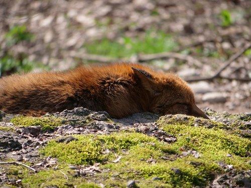 Fuchs, problemos, laukinis gyvūnas, miško gyvūnų, miško ruda, samanos, miškas