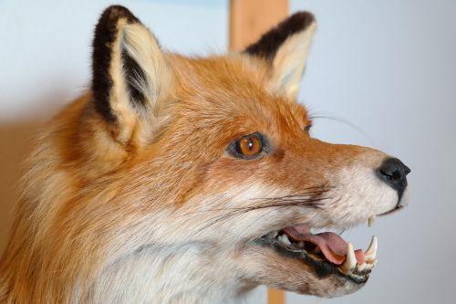 fuksas,gyvūnas,portretas,įdaryti,medžioklė,dantis,raudona lapė,vulpes vulpes,laukinis šuo,rausvai,ruda,laukinis gyvūnas,plėšrūnas,fauna,vulpini