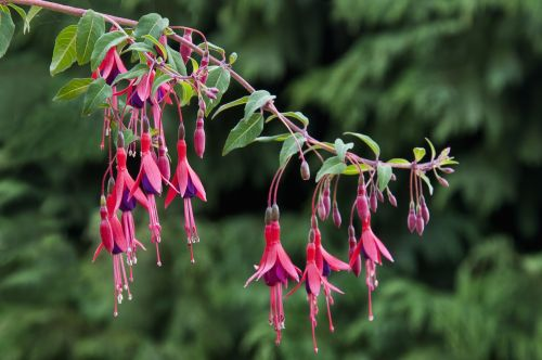 fuksija,gėlė,fuksija regia,raudona,filialas,žydi,kabantis,augalas,pavasaris,gamta,makro,rožinis,violetinė,sodas