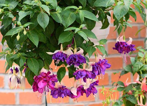 fuksija,žiedas,žydėti,violetinė,fuksijos gėlės,vakarinė šakniavaisė,priklausyti,augalas