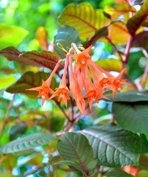 fuksija,pavasaris,Maranta,gėlė,augalas,fuksija hybrida