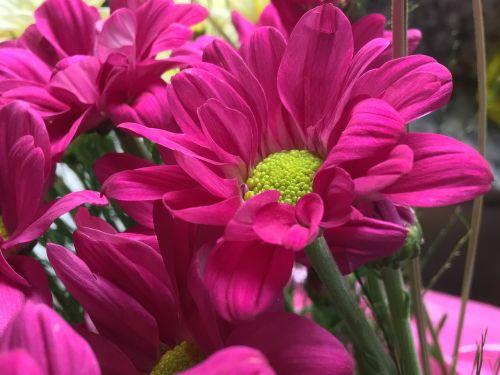 fuksija gėlė, žiedlapiai fuksija, fuksija, gėlė, gėlės, pavasaris, augalai, gamta, žiedlapiai, be honoraro mokesčio