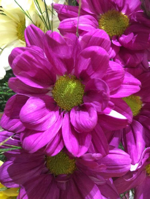 fuksija gėlė, žiedlapiai fuksija, fuksija, gėlė, gėlės, pavasaris, augalai, gamta, žiedlapiai, sodas, spalva, fuksija dalia, be honoraro mokesčio