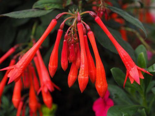fuksija triphylla,gėlės,raudona,koralų fuksija,fuksija,vakarinė šakniavaisė,Onagraceae,pailgos,trichterförmig,vamzdinis,ilgai