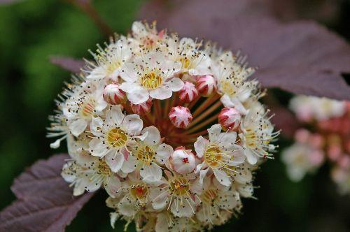 fuck bush,spiere,krūmas,raudoni lapai,gėlės,gamta,sodas,flora,augalas,lapai,baltos gėlės,apsidraudimo įmonė,žiedlapiai,švelnus