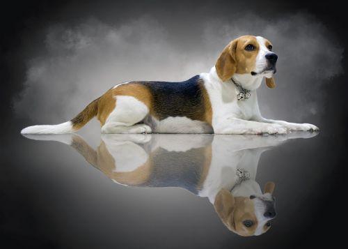 fuck jaunai, beagle, šuo, be honoraro mokesčio