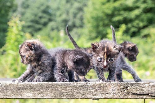 juokinga,kačiukai,mielas,katės,kačiukas,pūkuotas,žavinga,mažas,saldus,žaisti,įdomu,gamta,mielas,mažai,naminis gyvūnėlis,gyvūnas,akys,žiūri,vidaus,kailis